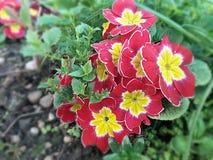Flores cor-de-rosa vermelhas Fotografia de Stock