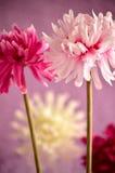 Flores cor-de-rosa, vermelhas e brancas Fotografia de Stock Royalty Free