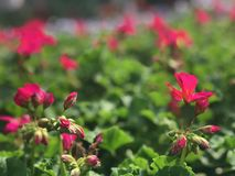 Flores cor-de-rosa vibrantes em um dia brilhante fotografia de stock royalty free