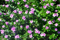 Flores cor-de-rosa vibrantes no jardim fotos de stock