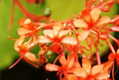 Flores corais Imagens de Stock