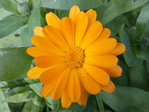 Flores, cores, laranja, cravo-de-defunto, campo, pétala, natureza, único, isolada, planta, cabeça, verão, objetos, beleza, amarel Imagens de Stock Royalty Free