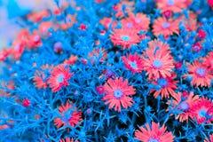 Flores creativas del aster de Nueva York con las hojas azules fotografía de archivo
