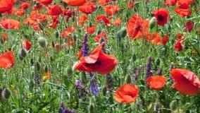 Flores crecientes salvajes de las amapolas en el viento en el campo de la primavera metrajes