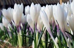 Flores crescentes do açafrão branco no sol Imagens de Stock Royalty Free
