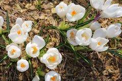 Flores crescentes do açafrão branco no sol Fotografia de Stock