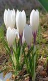 Flores crescentes do açafrão branco no sol Foto de Stock
