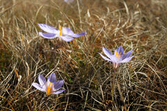 Flores crimeas ucranianas Foto de archivo