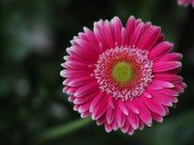 Flores, crisântemo das flores, papel de parede do crisântemo, Imagem de Stock Royalty Free