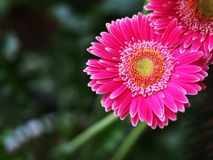 Flores, crisântemo das flores, papel de parede do crisântemo, Imagens de Stock Royalty Free