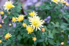 Flores, crisantemo de las flores, papel pintado del crisantemo, crisantemos en otoño, publicaciones anuales de los crisantemos, i imagen de archivo libre de regalías
