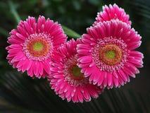 Flores, crisantemo de las flores, papel pintado del crisantemo, Foto de archivo libre de regalías