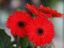 Flores, crisantemo de las flores, papel pintado del crisantemo, Foto de archivo