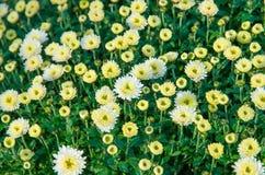 Flores: crisantemos Imagenes de archivo