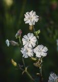 Flores cubiertas de rocio hermosas de la coronaria de vejiga Imagen de archivo libre de regalías