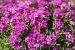 Flores culturales de las publicaciones anuales del jardín fotos de archivo