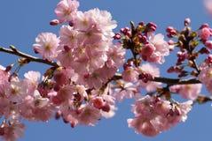 Flores da árvore Fotografia de Stock