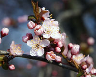 Flores da árvore Foto de Stock