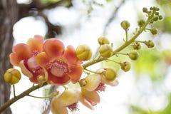 Flores da árvore da bala de canhão Fotos de Stock