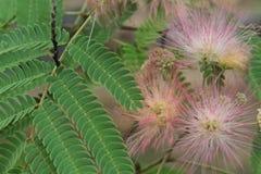 Flores da árvore da mimosa Imagem de Stock