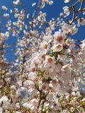 Flores da árvore da mola Foto de Stock