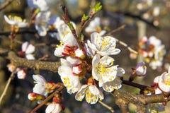 Flores da árvore de abricó com foco macio Flores brancas da mola em um ramo de árvore Árvore de abricó na flor Mola, flores branc Fotos de Stock