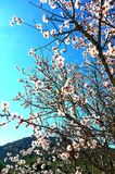 Flores da árvore de amêndoa na mola Foto de Stock Royalty Free