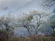 Flores da árvore de ameixa em Son La, Vietname fotos de stock royalty free