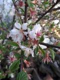Flores da árvore de Apple imagens de stock royalty free