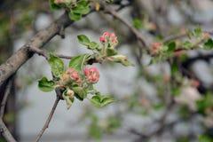 Flores da árvore de Apple Fotos de Stock
