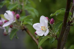Flores da árvore de Apple Fotografia de Stock Royalty Free