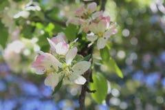 Flores da árvore de Apple Fotos de Stock Royalty Free