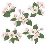 Flores da árvore de Apple e folhas do verde ajustadas Foto de Stock