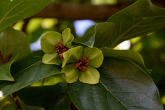 Flores da árvore de caqui Imagem de Stock