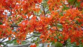 Flores da árvore de chama Foto de Stock Royalty Free
