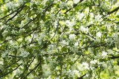 Flores da árvore de florescência da mola Fundo das flores brancas foto de stock