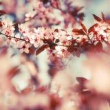 Flores da árvore de fruto na estação de mola adiantada Fotografia de Stock