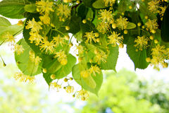 Flores da árvore de Linden Fotos de Stock