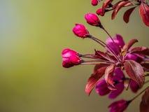 Flores da árvore de maçã do close-up com fundo defocused imagens de stock royalty free