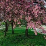 Flores da árvore de maçã do paraíso Foto de Stock Royalty Free