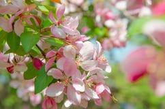 Flores da árvore de maçã do paraíso Fotos de Stock Royalty Free