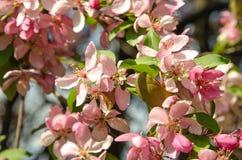 Flores da árvore de maçã do paraíso Imagem de Stock