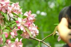Flores da árvore de maçã do paraíso Fotografia de Stock Royalty Free