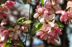 Flores da árvore de maçã do paraíso com abelha Fotografia de Stock