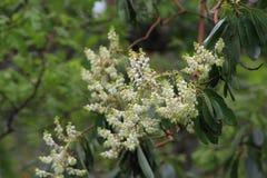 Flores da árvore de Madrone Imagens de Stock Royalty Free
