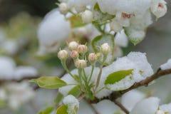 Flores da árvore de pera na neve Fotografia de Stock