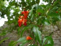Flores da árvore de romã Foto de Stock Royalty Free