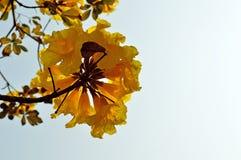 Flores da árvore de Tabebuia no amarelo Foto de Stock Royalty Free
