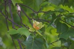 Flores da árvore de tulipa Fotos de Stock Royalty Free