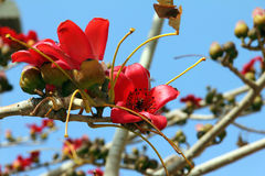 Flores da árvore vermelha do algodão de seda (Bombax) fotos de stock
